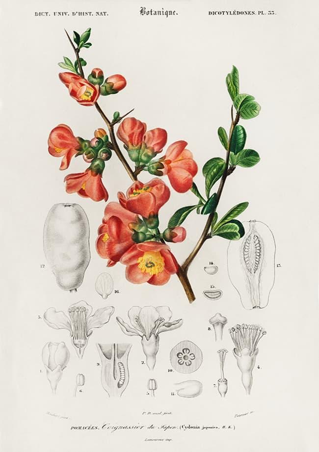 Pigwowiec, Dictionnaire Universel D'histoire Naturelle (1806-1876)