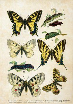 Motyle – Rycina z książki I