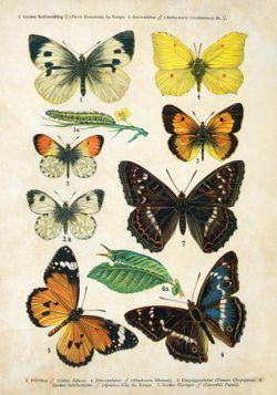 Motyle – Rycina z książki II