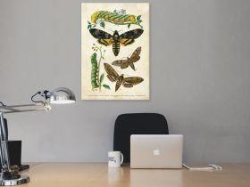 Motyle – Rycina z książki IV