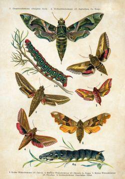 Motyle – Rycina z książki V