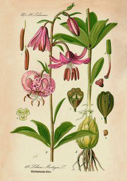 Kwiaty – Rycina z książki II