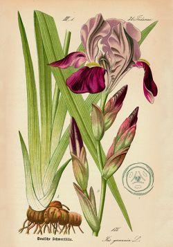 Kwiaty – Rycina z książki V