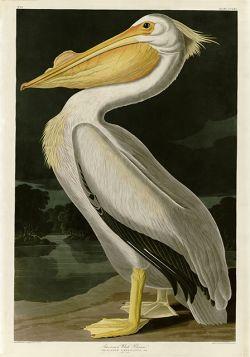 Pelikan - Rycina z książki I