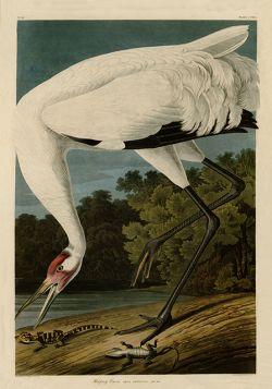 Ptaki – Rycina z książki III