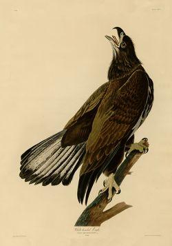 Ptaki – Rycina z książki VI