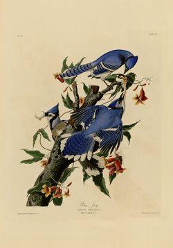 Ptaki – Rycina z książki VII