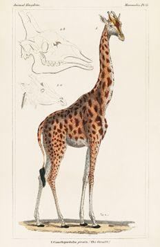 Żyrafa - Plakat Rycina, 40x26 cm