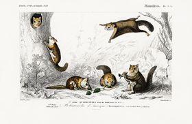 Assapan, Latające wiewiórki - Plakat Rycina, 40x26 cm