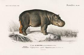 Hipopotam - Plakat Rycina, 40x26 cm
