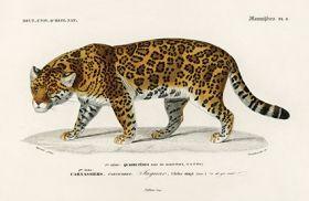 Jaguar, Pantera - Plakat Rycina, 40x26 cm