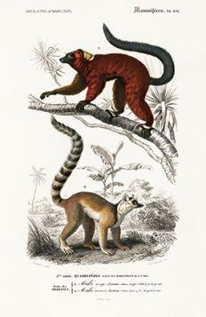 Lemur - Plakat Rycina, 40x26 cm