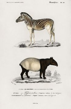 Tapir i zebra - Plakat Rycina, 40x26 cm