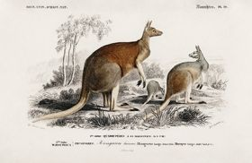 Kangur  - Plakat Rycina, 40x26 cm