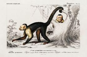 Małpa, kapucynka - Plakat Rycina, 40x26 cm