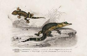 Aligator i jaszczurka - Plakat Rycina, 40x26 cm