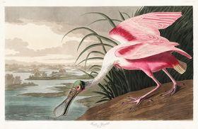 Ibis, Pelikan  - Plakat Rycina, 40x26 cm