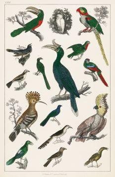 Różne rodzaje ptaków - Plakat Rycina, 40x26 cm