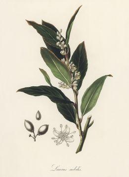Liść laurowy - Plakat Rycina, 40x30 cm