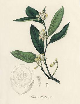 Cytryna - Plakat Rycina, 40x30 cm