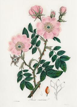 Róża dzika - Plakat Rycina, 40x30 cm