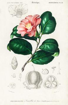 Kamelia japońska  - Plakat Rycina, 40x30 cm