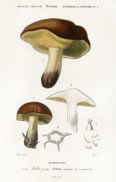 Grzyb - Plakat Rycina, 40x30 cm