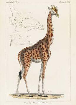Żyrafa, rycina - magnes