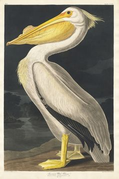 Pelikan - magnes