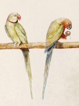 Kolorowe papugi - ilustracja vintage