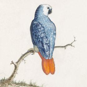 Papuga - ilustracja vintage