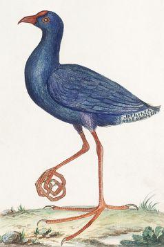 Ptak - ilustracja vintage