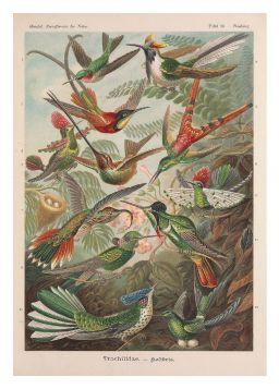 Rajskie ptaki - plakat