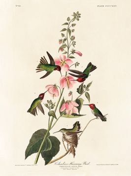 Kolibry, ptaki - plakat