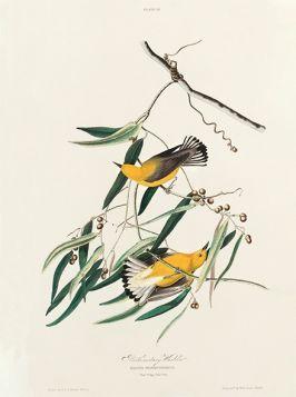 Ptaki, żółte, rycina - plakat