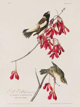 Ptaki na czerwonej gałązce, rycina - plakat