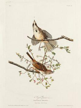 Ptaki, stara rycina - plakat