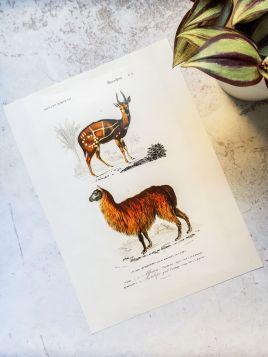 Zwierzęta, alpaka - plakat, rycina