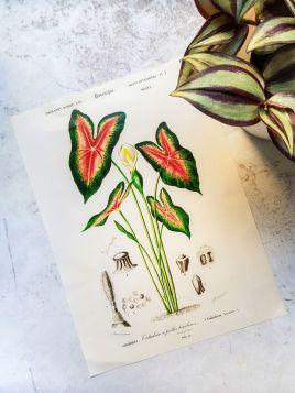 Roślina, Kaladium - plakat, rycina