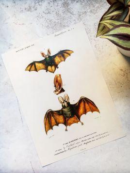 Nietoperze - plakat, rycina