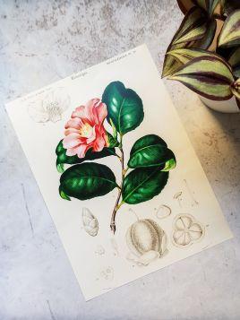 Kamelia japońska - plakat, rycina