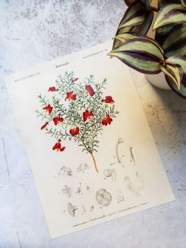 Lechenaultia formosa - plakat, rycina