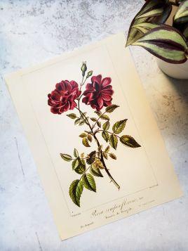 Kwiaty, róże - plakat, rycina