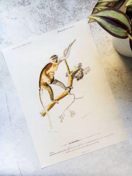 Małpka - plakat, rycina