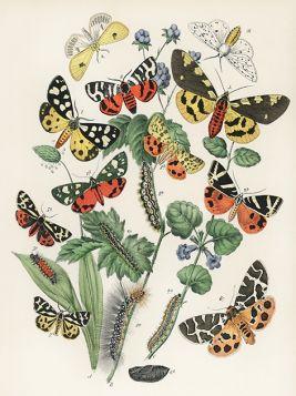 Motyle i ćmy - ilustracja vintage