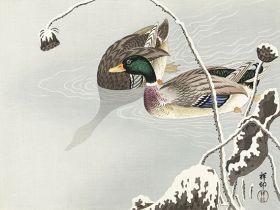 Kaczki krzyżówki - ilustracja vintage