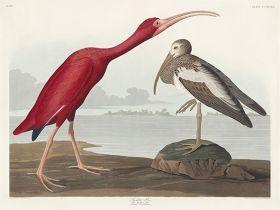 Ibis szkarłatny - ilustracja vintage