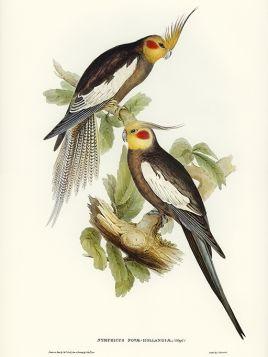 Papugi, Nimfy - ilustracja vintage