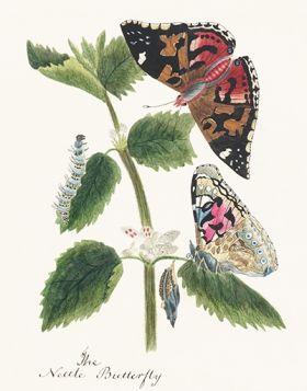 Motyle i poczwarki - ilustracja vintage