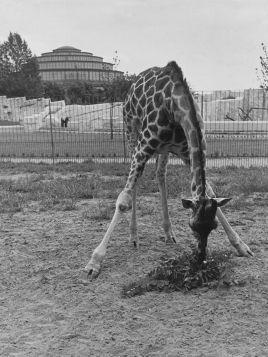 Wrocław, Ogród Zoologiczny.  Żyrafa na wybiegu.